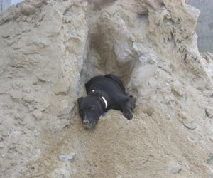 Zuni digs fox hole